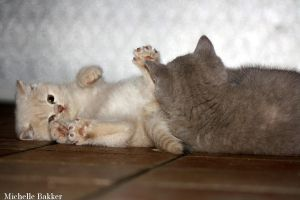 British Shorthair kittens playing by MichelleB-Stock