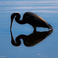 Tricolor heron reflection in silhouette by CyclicalCore