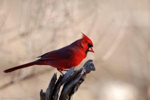 Cardinal 1 by robbobert