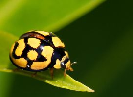 Yellow-and black ladybug by westcoastwitch
