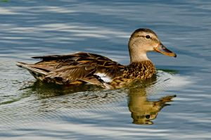 Fowl Reflection by jlente