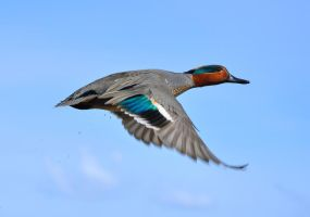 Flight of a Green Winged Teal by tuftedpuffin