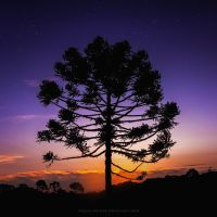 Araucaria under Orion by Miguel-Santos