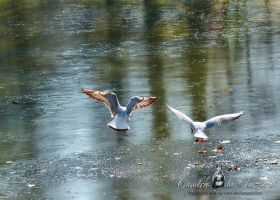 Moewen - Seagulls by Cundrie-la-Surziere