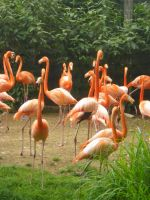 Flamingos by Chrissice