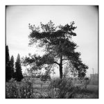 2014-329 My friends, the trees - scan0104 by pearwood