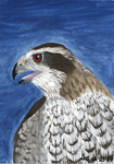 Northern Goshawk by SlateGray