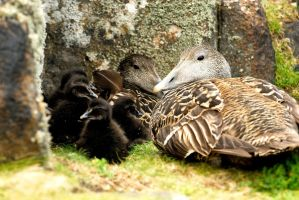 Eider Ducklings by Shadow-and-Flame-86