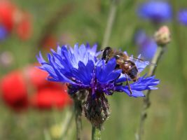 Cornflower and bee by oxalysa