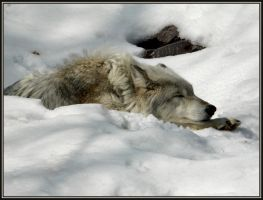 Let Sleeping Wolves Lie by papatheo