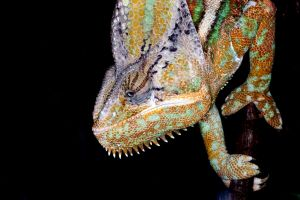 Chameleon by camabs