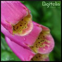 Digitalis Close up by Miarath