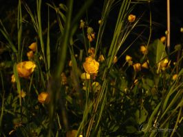 evening grass I by sineous