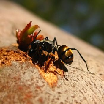 Golden Ant by altermind