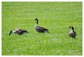 A Gaggle Of Geese by TheMan268