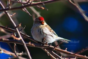 Common Redpoll II by Sagittor