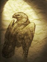 Aged Hawk Drawing by SMcNonnahs