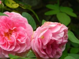 Two Roses by leighbennett