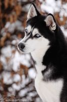 Siberian Husky. by Maaira