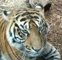 Gage Park Zoo 61 - Tiger by Falln-Stock