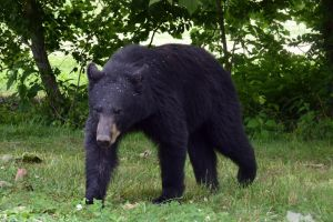 black bear by merandakay12