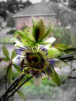 Passion Flower by BriskytheSovietSpy
