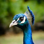 Vibrant Peacock by Niv24