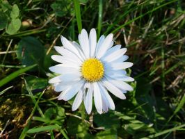 And Another Daisy 2012-01-04 13.48 by VioletRosePetals