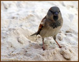 The House Sparrow by CrazyPersikGirl