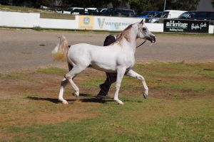TW arab white trot side on foaming at mouth by Chunga-Stock