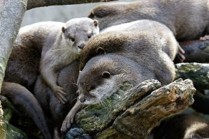 Otter group cuddling by duncan-blues