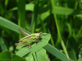 Clover, Grass and Hopper by ankewehner