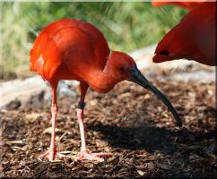 Scarlet ibis by Ryoo-09