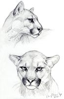Cougar sketches by silvercrossfox