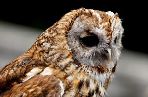 Tawny Owl Close Up by Shadow-and-Flame-86