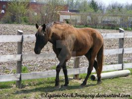 Kentucky Mountain Horse 4 by EquineStockImagery