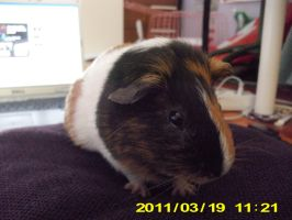 Return Of The Guinea Pig by alazada9855
