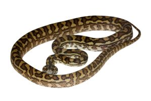 Carpet python stock by A68Stock