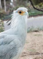 Secretary Bird by dkbarto