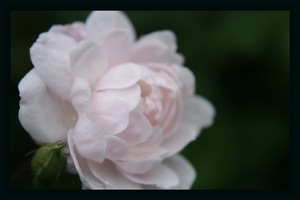 Pink Softness by webworm