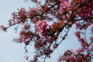 Pink Blossom by Marz-2292