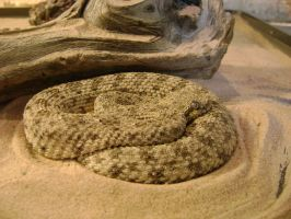 speckled rattlesnake by laura-worldwide