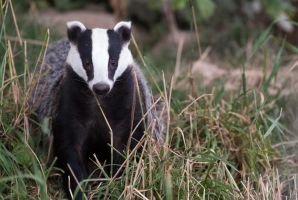 Badger by gmwebs