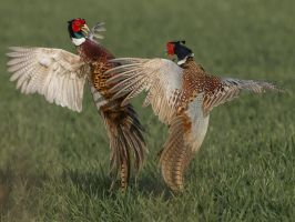 Fighting Pheasants by Jamie-MacArthur