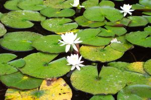 Lilypads In The Pond by splat