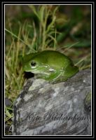 Green tree frog 1 by DesignKReations