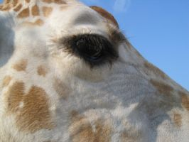 Stock: Giraffe 3 by equizotical
