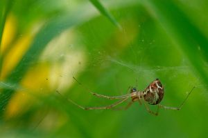 the spider by Viand