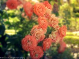 Rose's garden by FrancescaDelfino