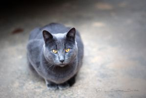 Chartreux by Iscarioth21